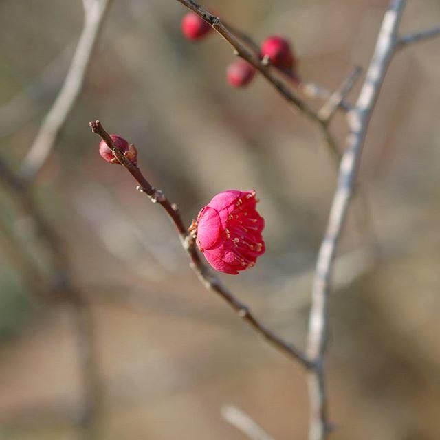 紅梅が花盛りです。