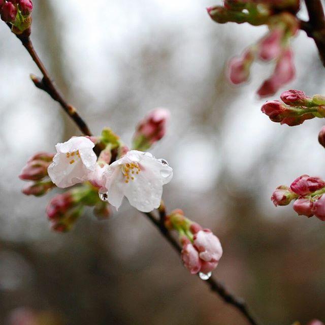 日曜日、今年も桜と一緒にOraNoaさんが来てくれます。 フリーのライブですから、咲き始めた桜並木を歩きにいらしたら、ぜひそのままマンマミーアまで足を伸ばして下さいませ。 OraNoa Spring Live Tour 2016 てのひらの舵と月 4/3(日) 15:00〜 guest:鎌田将(contrabass) gallery-mamma mia