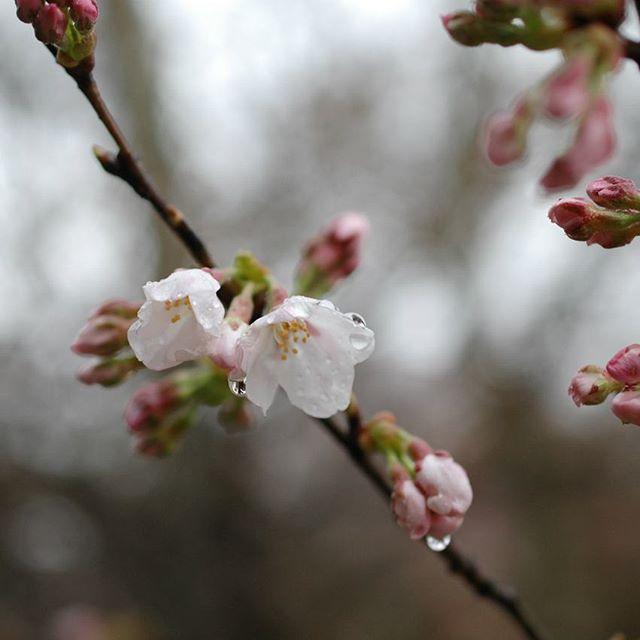 """甲賀の桜も少し咲き始めました。 本日より、横浜のCLASKA Gallery&Shop """"DO"""" たまプラーザ店さんにて『mamma mia ~甲賀の桜摘み』展が開催されます。 本日と明日は川端も在廊しておりますので、会いにいらしていただけると嬉しいです。 本日も皆さまのご来店を心よりお待ちしています。"""